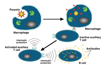 T_cells_fonction