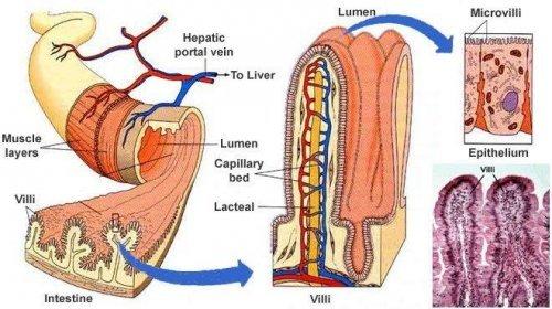 intestinaldiagram_1